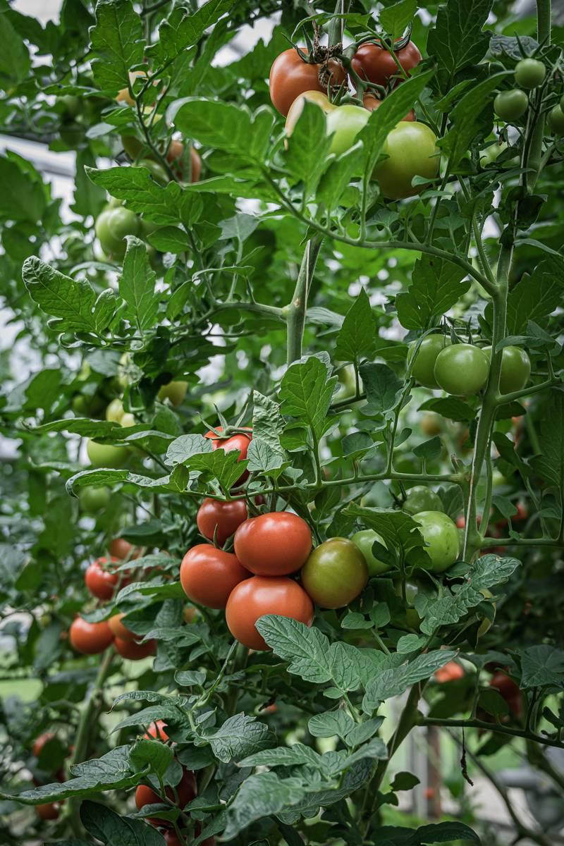 trickytine Insel Reichenau Tomaten Gurken