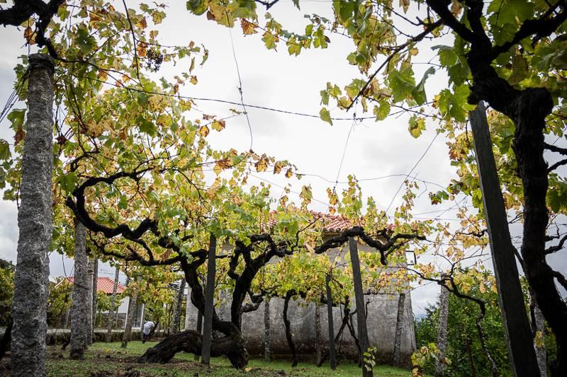 Weinreben Weinreise Portugal trickytine