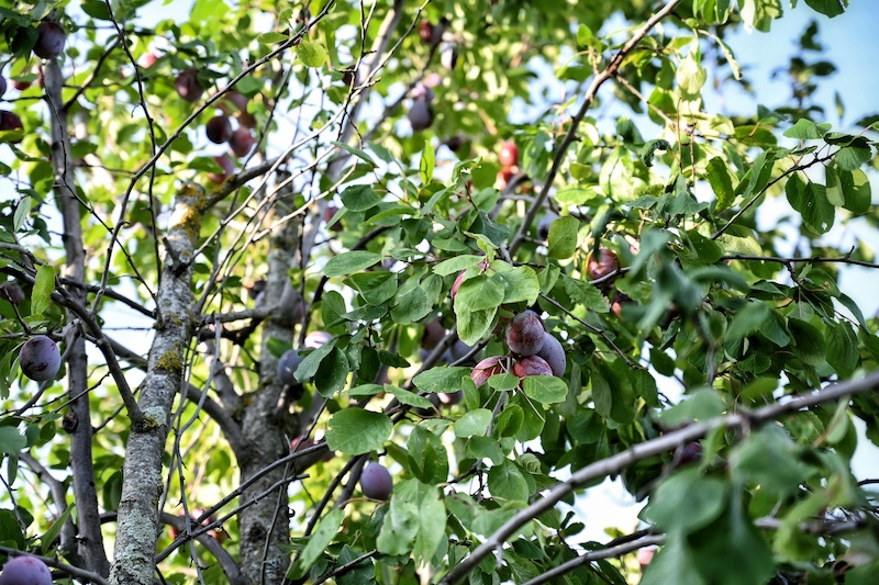 Zwetschgenmarmelade Rosmarin Zitrone trickytine Foodblog Baum